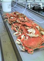 Tillamook bay Johnny B Scott Lannies 30 crab.jpg